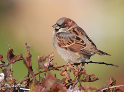 House Sparrow by Sandra Palme