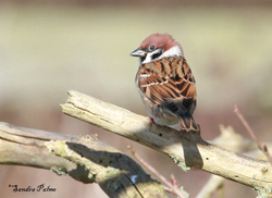 Tree Sparrow by Sandra Palme s